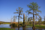 The Egrets are Gone and the Old Cathedral Cypress Tree Stands Alone