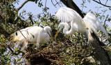 Great Egrets in Audubon Park on April 20, 2011