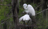Egrets with Eggs in Nest in the Rain