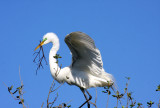 Egret with Material for the Nest