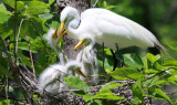 Great White Egret with Babies