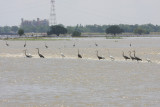 Herons and Egrets Wait for Fish Coming Through Spillway Locks