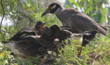 Yellow Crowned Night Heron and Four Babies