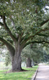 Carville's ancient live oaks near the Mississippi River Road