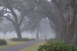 Manresa oaks in fog