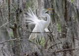 Great White Egret - Courting Season