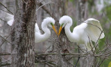 Great Egrets in Courting Season -The cute couple