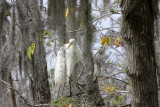 Great White Egret Behind a Curtain of Spanish Moss