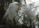 Great White Egrets Kissing
