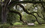 Live oak with Swing