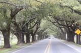 Live Oaks in St. Bernard Parish