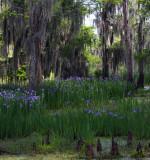 Louisiana Irises as far as the eye can see