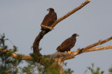 Young Eagles in Setting Sun