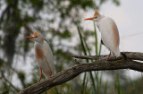 Cattle Egrets in Breeding Plummage and Colors