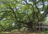 National Champion - Live Oak (Quercus virginiana) in Lewisburg, Louisiana