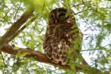 Never Wake a Sleeping  Baby Owl