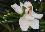 Shy Magnolia Grandiflora