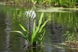 Swamp Crinum