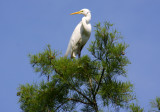 Troubled Great White Egret