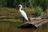 Snowy Egret and Alligator