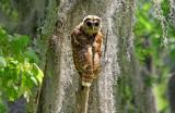Little Frightened Owl