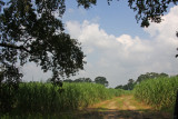 Sugar Cane Crop in Southeast Louisiana