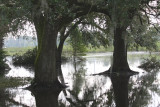 Live Oak Stability - Sitting in flood waters from Lake Pontchartrain