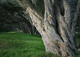 Pohutukawa Trees - Goat Island