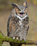 Great Horned Owl 7