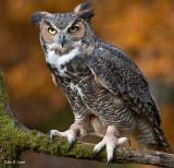 Great Horned Owl 8