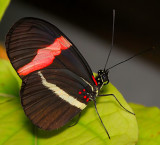 Small Postman (aka Crimson-patched Longwing)