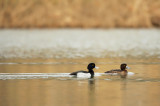 Tufted duck-Aythya fuligula
