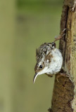 Short-toed treecreeper-Certhia brachydactyla