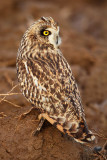 Short-eared owl-Asio flammeus