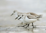 Sanderling-Calidris alba