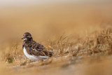 Turnstone-Arenaria interpres