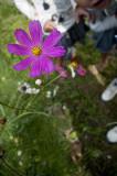 A Late Summer Flower