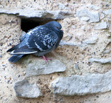 The Tower's Pigeon