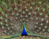 Peacock Photoshoot  :)