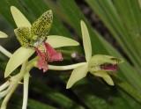 Orquidea Verde Rosa