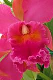 Cattleya Rosa