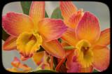 HDR Dendrobium