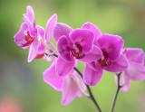 Phala Pink