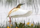 The Birds of Shetland 2011