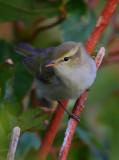 Greenish-Warbler  Mainland