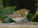 Yellow-browed-Warbler  Mainland