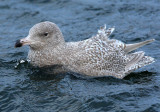 Glaucous-Gull  Moray and Nairn