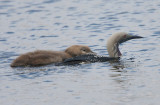Black-throated Diver with juvenile