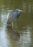 Tri-colored Heron by Steve Blanchard. 21 points