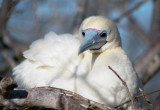 Red-footed Booby by Steve Blanchard. 20 points